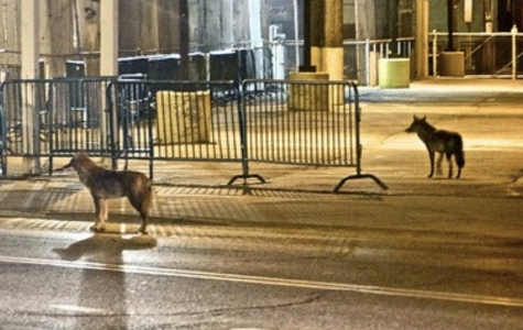 Chicago's Coyote Hunt